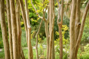 dried trunk poles row with green trees