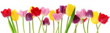 Fototapety Spring tulip flowers in a row