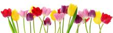 """Постер, картина, фотообои """"Spring tulip flowers in a row"""""""