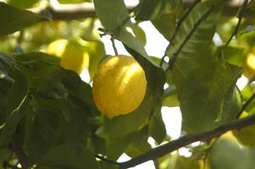 Limones en el limonero 81