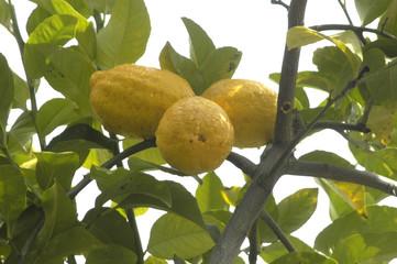 Limones en el limonero 83