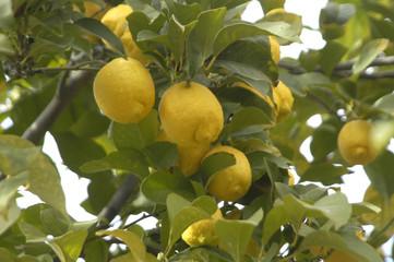 Limones en el limonero 87