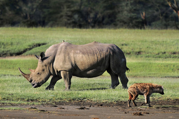 Spotted Hyena (crocuta crocuta) and Rhinoceros (Rhinocerotidae)