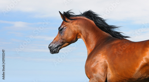 beautiful brown arabian horse in motion isolated on sky
