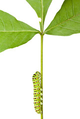 caterpillar climbing on stem