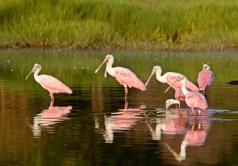 Rosette Spoonbills feeding in Florida waters