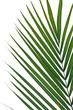 palme tropicale sur fond blanc