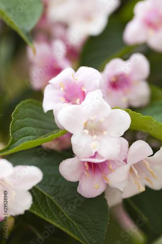 Papiers peints Azalea petites fleurs roses pales sur arbuste