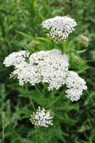 White Yarrow Wildflower
