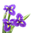 beautiful dark purple iris flower isolated on white background;
