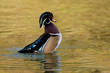 Wood Duck Drake (Aix sponsa)