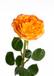 Single orange rose on isolating background
