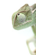 Baby chameleon posing in light tent, macro focused on eyes