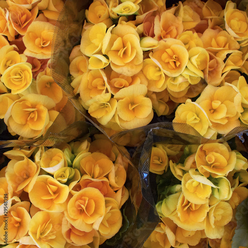bouquets of orange begonia closeup, flower background