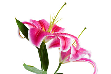 Flower Lilium closeup