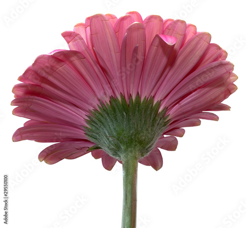 gerbera full isolated on white background, without shadows
