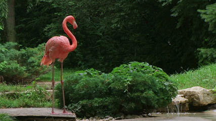 American Flamingo Mating Ritual