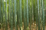 Fototapeta Bamboo forest