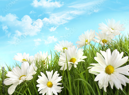 canvas print picture White summer daisies in tall grass