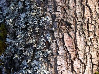 bark ash 07