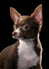 brown Chihuahua with white chest  portrait close-up