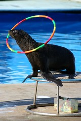 Sea-bear sea-lion rolling up the hoop in circus