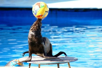 Performance of sea-bear with ball