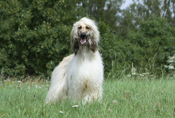 afghan hound alone outdoor