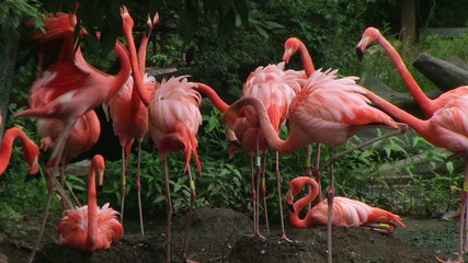 American Flamingo Mating Ritual 02