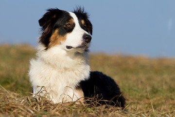 Tri-color Australian Shepherd