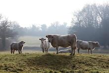 Rétroéclairé charolais vaches Cold Winter Mist pluie