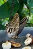 butterfly feeding on fruit in captivity poster