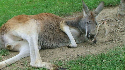 Kangaroo Laying Down And Sleeping