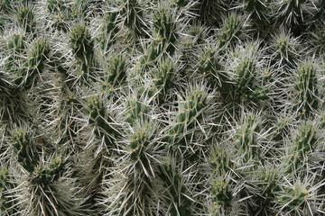 Kaktus cylindropuntia tunicata,Gran Canaria
