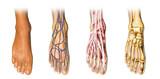 Human foot anatomy cross sections