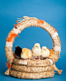 Easter chickens and eggs in basket on blue background