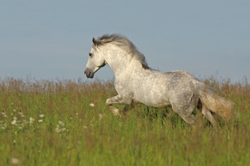 White horse galloping on the green meadow