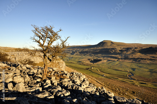Lone tree on Limestone opposite Ingleborough