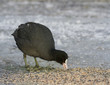 Common Coot on the ice