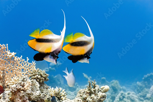 Bannerfish na rafie koralowej