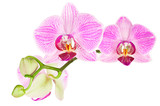 Blooming pink orchid plant isolated on white background