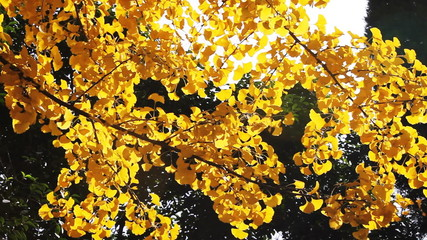 maidenhair tree leaves joggling in wind in autumn