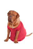 Dog of Dogue De Bodeaux Beed sitting with red romantic dress