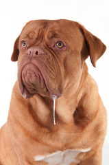 Dog of Dogue De Bordeaux breed with slobber looking aside
