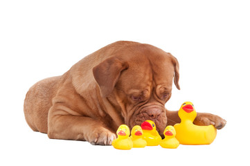 Dog of french mastiff breed playing with plastic duck bath toys