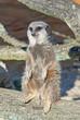 Meerkat (S. Suricata) looks