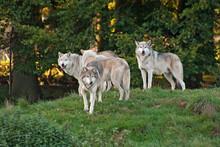 Wolf (C. Lupus) pack