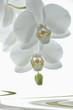 Phalenopsis weiß