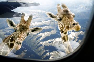 Hallo zwei Giraffen