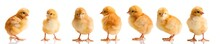 """Постер, картина, фотообои """"Chickens in differens poses isolated on white"""""""